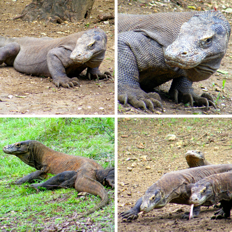 Komodo Pic Collage