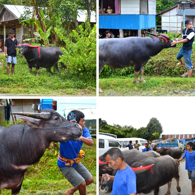 A FUNERAL Buffalo procession Pic Collage