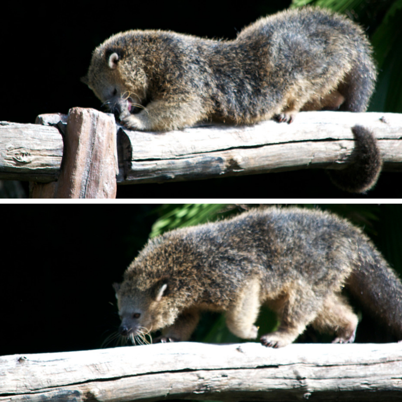 Binturong Pic Collage1