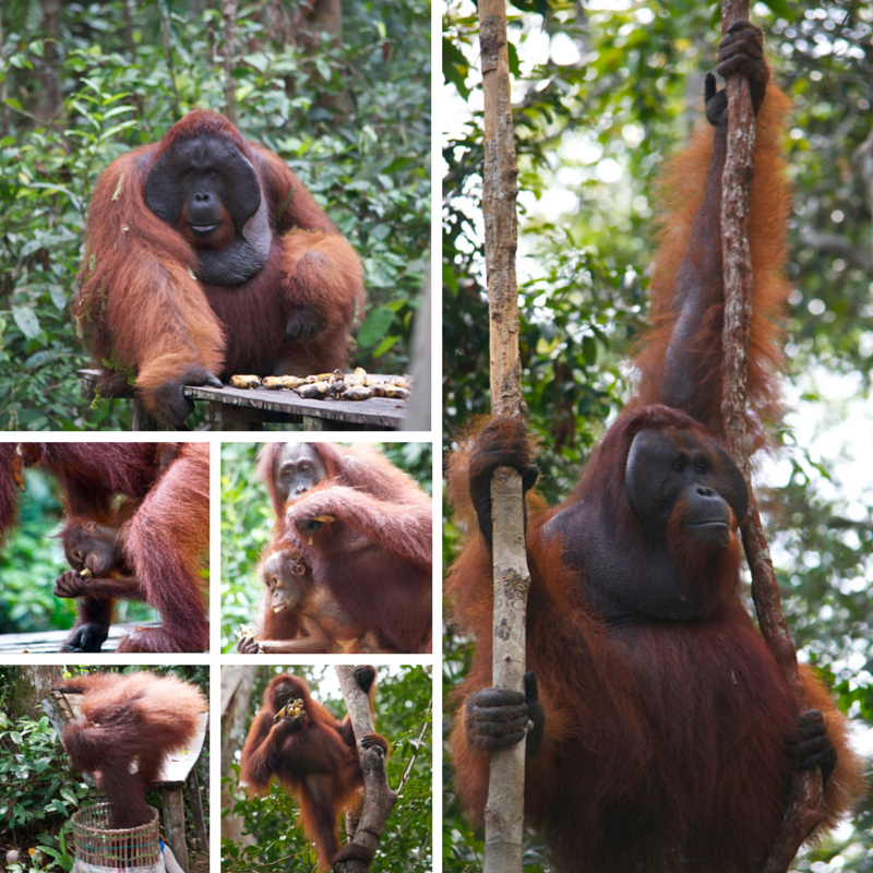 Tanjung Puting National Park Day 3 oranghutan pic collage