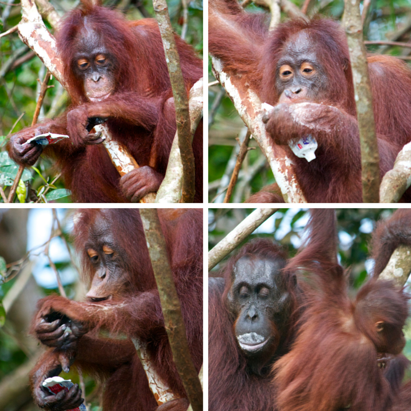 Tanjung Puting National Park Day 3 oranghutan + toothpaste pic collage