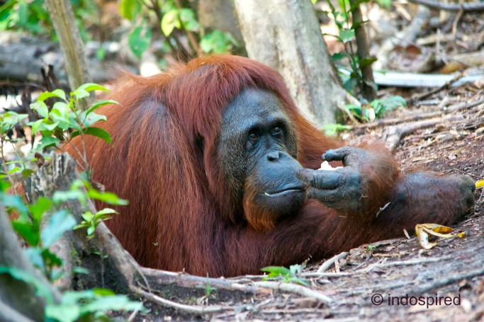 how to help orangutans survive