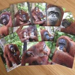 Orangutan Blank Cards Pack of 10